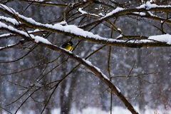 Little sun. A yellow feathered tomtit on a tree branch in bad and snowy winter weather royalty free stock images