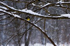 A yellow feathered tomtit on a tree. Branch in bad and snowy winter weather stock photos