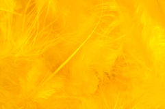 Yellow feathers. Stock photograph is of a bunch of bright yellow feathers of various size Stock Photography