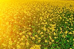 Yellow feild of flowering rapeseed canola or colza Brassica Napus, plant for green rapeseed energy, oil industry and bio fuel royalty free stock images
