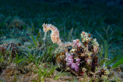A Yellow Female Common Seahorse (Hippocampus Taeniopterus) on th Royalty Free Stock Images