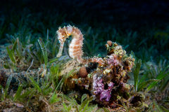 A Yellow Female Common Seahorse (Hippocampus Taeniopterus) on th Stock Photos