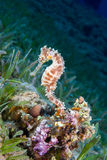 A Yellow Female Common Seahorse (Hippocampus Taeniopterus) on th Stock Images
