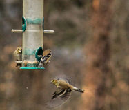 Yellow female finches-motion 1 Royalty Free Stock Image