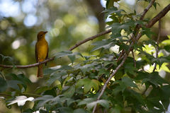 A yellow female Summer Tanager bird. Stock Image