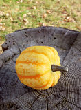 Yellow Festival squash on a weathered tree stump. Yellow and orange Festival squash on a weathered tree stump, autumn leaves and green grass beyond Stock Images