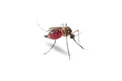 Yellow fever mosquito Aedes aegypti Stock Image