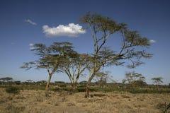 Yellow fever tree,  Acacia xanthophloea, Royalty Free Stock Photos