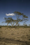 Yellow fever tree,  Acacia xanthophloea, Stock Photography