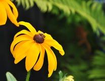 Yellow feverfew with bee Stock Image