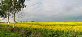 Yellow field. Summer landscape. Yellow field, trees, forest Royalty Free Stock Images