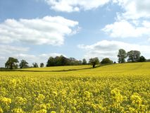 Yellow field. S stock photography