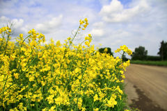 Yellow field Stock Photo