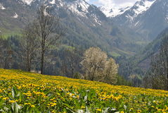 Yellow field. Field of yellow flowers in the valley of champorcher Stock Photo
