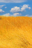 Yellow field. Photo of yellow field and blue sky with clouds royalty free stock images