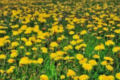 Yellow field Royalty Free Stock Photos