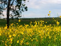 Yellow field 2. A background photo of a field of yellow flowers Royalty Free Stock Photo