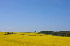 Yellow field. And blue sky royalty free stock photos