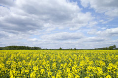 Yellow field. Spring yellow field, wonderful intense colors stock photography
