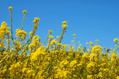 Yellow field. A yellow field full of small flowers Royalty Free Stock Photos