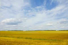 Yellow field. Under blue sky Stock Photography