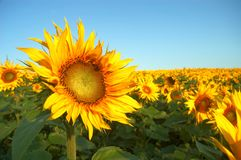Yellow field. An image of yellow field of sunflowers Stock Images