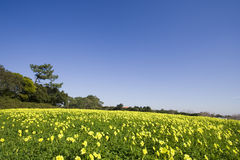 The yellow field Stock Image