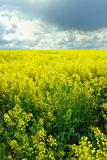 Yellow field. Field with yellow flowers and cloudy sky royalty free stock image