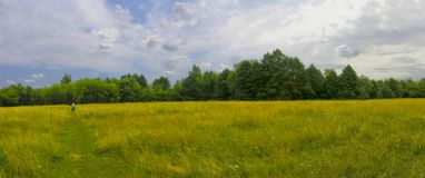 Yellow field. Yellow and green  grass under white clouds in summer Royalty Free Stock Image