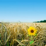 Yellow field Stock Image