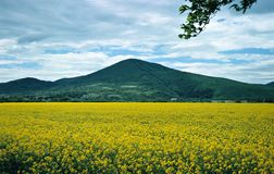 Yellow field. Landscape with a mountain and yellow flowers Royalty Free Stock Photo
