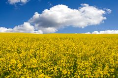 Yellow field. Golden canola field Royalty Free Stock Photography