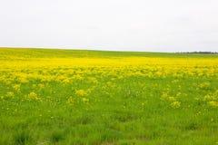 Yellow field Stock Photo