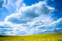 Yellow field with beautifull blue sky Royalty Free Stock Images