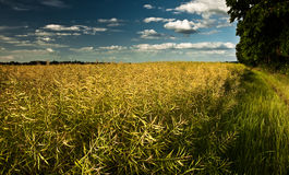 Yellow field in Berkshire Stock Image
