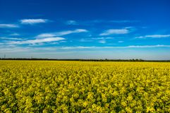 Yellow field of blooming canola stock images