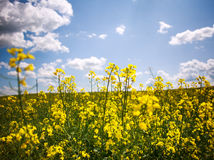 Yellow field of blooming rapeseed on background of blue sky Stock Images