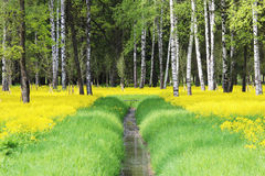The yellow field of the blossoming Barbarea rape in early summer mixed with green grass on either side of the drainage. Channel in the Gatchina Park Royalty Free Stock Photo