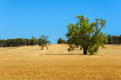 Yellow Field. With the blue clear sky Stock Photography