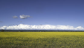 Yellow field and blue sky. Some white clouds at the horizon Stock Image