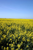 Yellow field with blue sky Stock Image