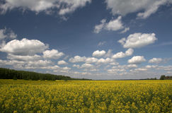 Yellow field and the blue sky Royalty Free Stock Image