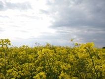 The yellow field on blue sky background Stock Images