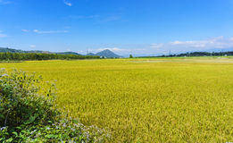 Yellow field in the blue sky Stock Photography
