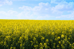 Yellow field with blue sky Stock Images