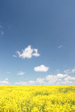 Yellow field and blue sky. Spring. Stock Images