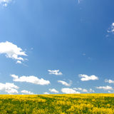 Yellow field and blue sky. Spring. Stock Image