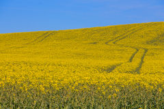 Yellow field. A yellow field with blue sky in Sweden Stock Photos
