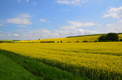 Yellow field and blue sky royalty free stock photo