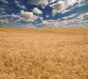Yellow field and blue sky with white clouds Royalty Free Stock Image